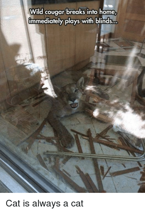 cougar: Wild cougar breaks into home  immediately plays with blinds... Cat is always a cat