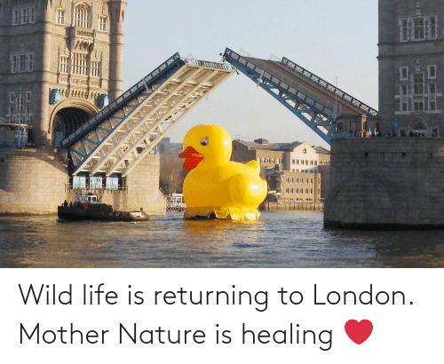 Healing: Wild life is returning to London. Mother Nature is healing ❤️