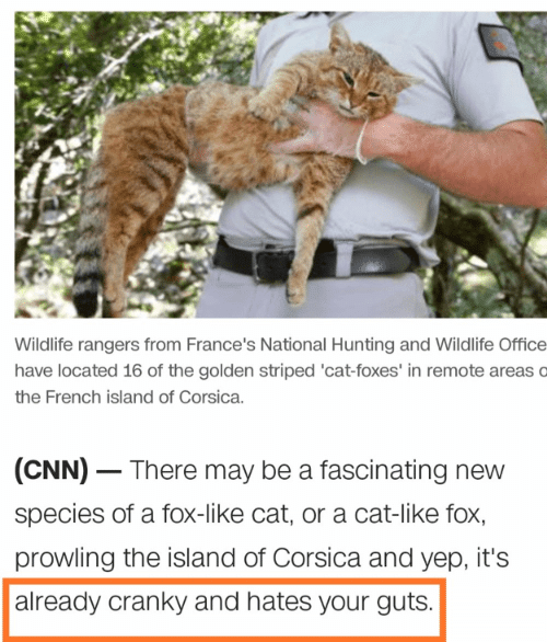 the island: Wildlife rangers from France's National Hunting and Wildlife Office  have located 16 of the golden striped 'cat-foxes' in remote areas o  the French island of Corsica.  (CNN) There may be a fascinating new  species of a fox-like cat, or a cat-like fox,  prowling the island of Corsica and yep, it's  already cranky and hates your guts.