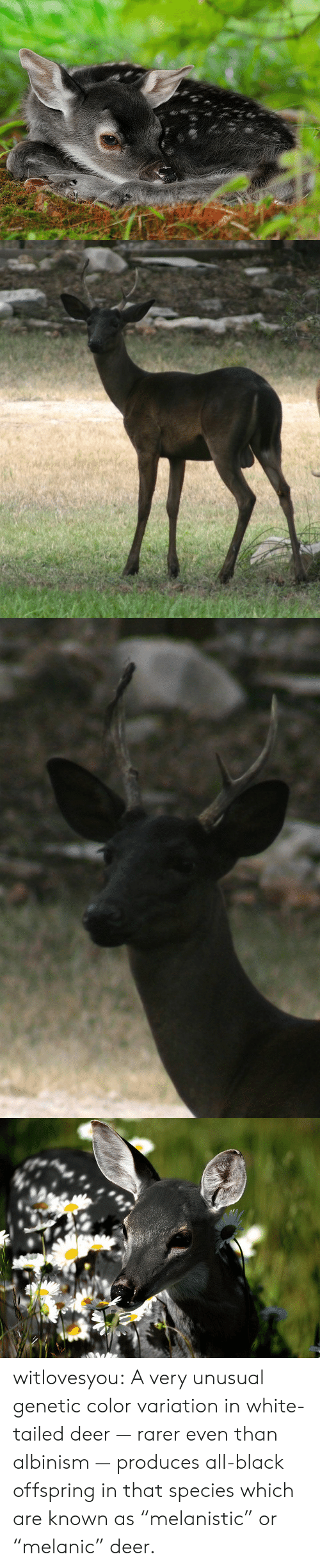 "Produces: witlovesyou:  A very unusual genetic color variation in white-tailed deer — rarer even than albinism — produces all-black offspring in that species which are known as ""melanistic"" or ""melanic"" deer."