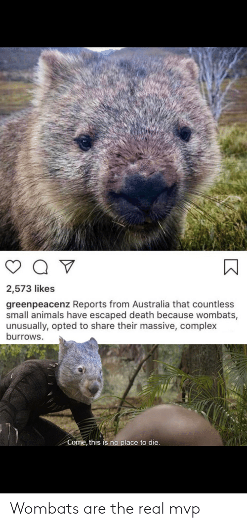 mvp: Wombats are the real mvp