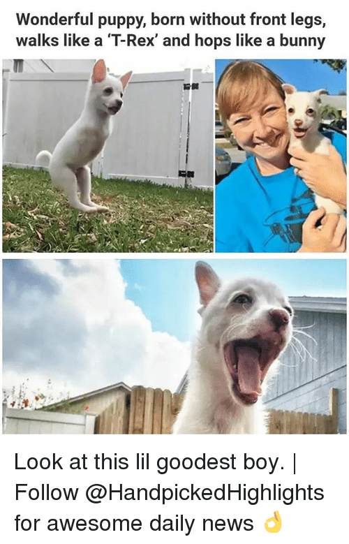 borns: Wonderful puppy, born without front legs,  walks like a T-Rex, and hops like a bunny Look at this lil goodest boy.   Follow @HandpickedHighlights for awesome daily news 👌