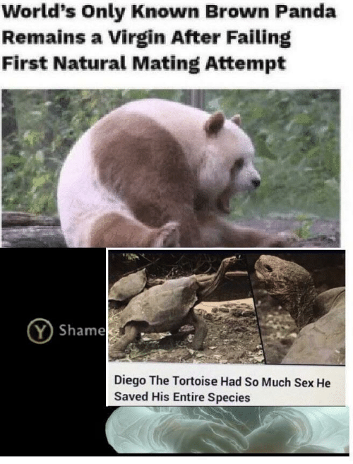 diego: World's Only Known Brown Panda  Remains a Virgin After Failing  First Natural Mating Attempt  Shame  Diego The Tortoise Had So Much Sex He  Saved His Entire Species