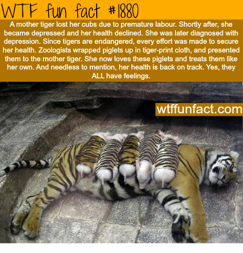 Tigers: WTF fun fact #1880  A mother tiger lost her cubs due to premature labour. Shortly after, she  became depressed and her health declined. She was later diagnosed with  depression. Since tigers are endangered, every effort was made to secure  her health. Zoologists wrapped piglets up in tiger-print cloth, and presented  them to the mother tiger. She now loves these piglets and treats them like  her own. And needless to mention, her health is back on track. Yes, they  ALL have feelings.  wtffunfact.com