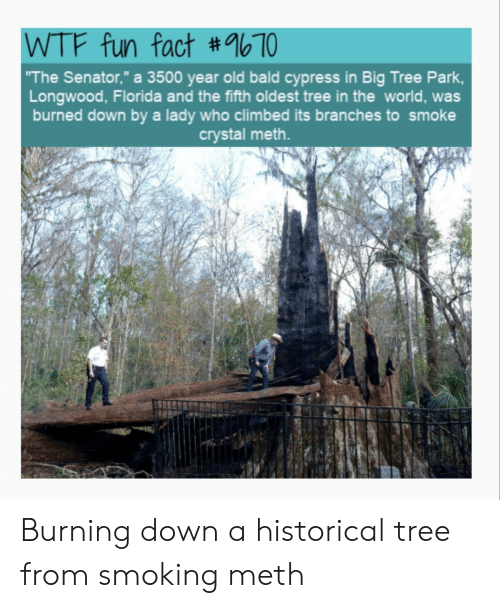 """Smoking, Wtf, and Florida: WTF fun fact #1b70  The Senator,"""" a 3500 year old bald cypress in Big Tree Park  Longwood, Florida and the fifth oldest tree in the world, was  burned down by a lady who climbed its branches to smoke  crystal meth. Burning down a historical tree from smoking meth"""