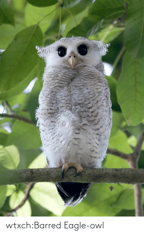 Eagle: wtxch:Barred Eagle-owl