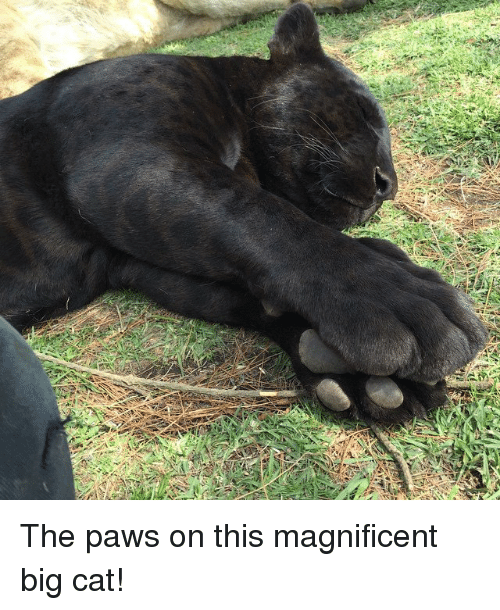 big cat: y The paws on this magnificent big cat!