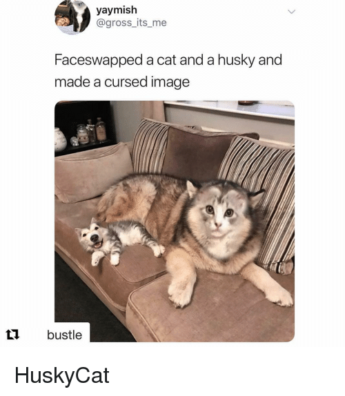 Bustle: yaymish  @gross_its_me  Faceswapped a cat and a husky and  made a cursed image  t1 bustle HuskyCat