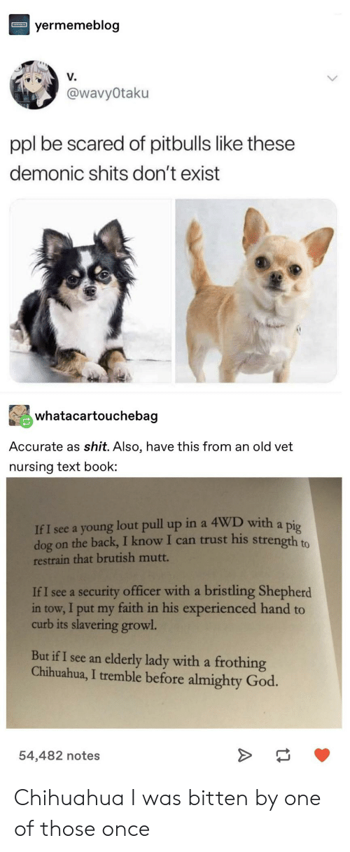 chihuahua: yermemeblog  V.  @wavyOtaku  ppl be scared of pitbulls like these  demonic shits don't exist  whatacartouchebag  Accurate as shit. Also, have this from an old vet  nursing text book  If I see a young lout pull up in a 4WD with a pig  dog on the back, I know I can trust his strength to  restrain that brutish mutt.  If I see a security officer with a bristling Shepherd  in tow, I put my faith in his experienced hand to  curb its slavering growl  But if I see an elderly lady with a frothing  Chihuahua, I tremble before almighty God.  54,482 notes Chihuahua I was bitten by one of those once