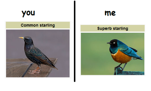 Superb: You  Common starling  Superb starling