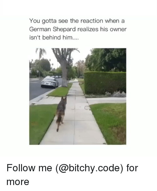 german shepard: You gotta see the reaction when a  German Shepard realizes his owner  isn't behind him. Follow me (@bitchy.code) for more