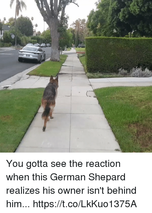 german shepard: You gotta see the reaction when this German Shepard realizes his owner isn't behind him... https://t.co/LkKuo1375A