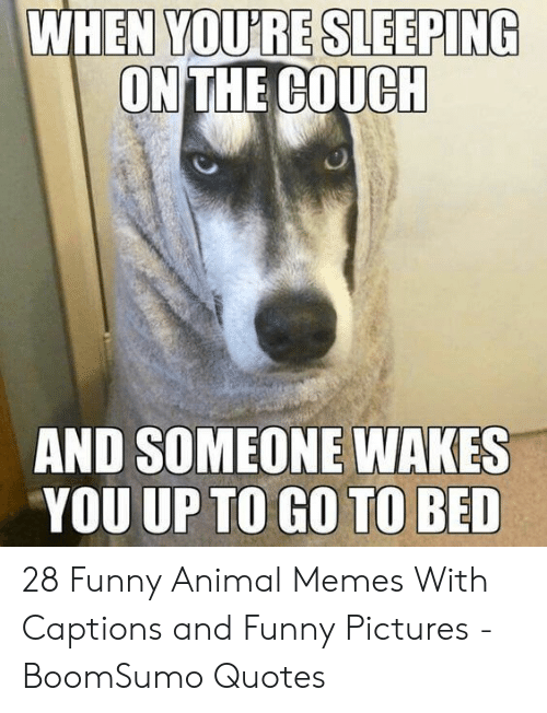 And Funny: YOU'RE SLEEPING  ON THE COUCH  WHEN  AND SOMEONE WAKES  YOU UP TO GO TO BED 28 Funny Animal Memes With Captions and Funny Pictures - BoomSumo Quotes